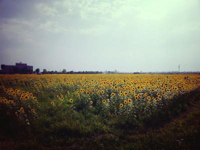 羽島のひまわり畑